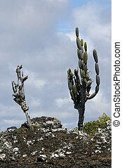 仙人掌, galapagos