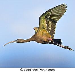 佛羅里達, 鳥