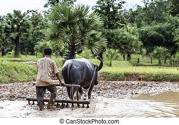 使用, 領域, 布法羅, 農夫, 泰國, 犁