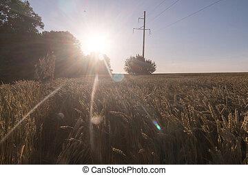 傳輸, 小麥, 光線, 電, 傍晚, 伸展, 黃金, 在上方, 領域, 線