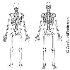前面, 骨骼, 背