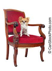 古董, 椅子, chihuahua