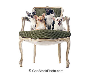 古董, 椅子, chihuahuas