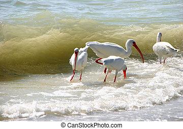 喂, 佛羅里達, 海洋, ibis, 美國人, 波浪, 白色, sanibel