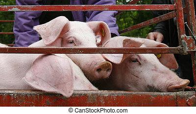 國內, 豬肉, 農業, 動物, 豬