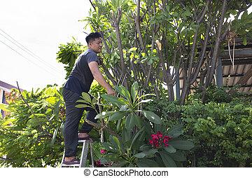 園藝, 花園, 人們, 人, 樹, 切, plumeria, 分支, 家庭前面, 泰國, 泰國, nonthaburi, 剪除