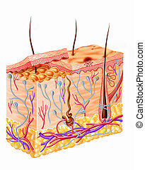 圖形, 部分, 人的 皮膚