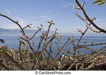 多刺, 植物, 太平洋