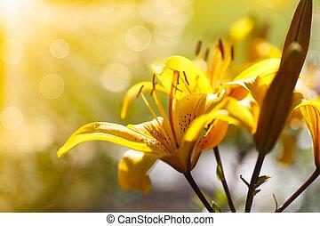 天百合花, 陽光普照, 開花, 黃色