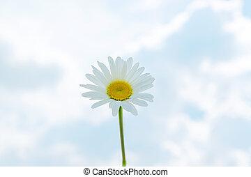 天空, 針對, 藍色, 雛菊, 單個, camomile, 背景, 開花