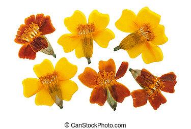 干燥, scrapbooking, floristry, herbarium, 花, 万壽菊, 背景。, tagetes, 集合, 白色, 或者, 按, 被隔离, 使用