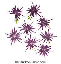 或者, 白色, scrapbooking, 使用, 背景。, 花, 藍色, 福祿考屬, 干燥, 按, floristry, herbarium., 被隔离, 集合, 粉紅色