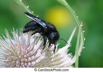 或者, 蜜蜂, violaceae, 黑色, 木匠, 向上, 紫色, xylocopa, 關閉