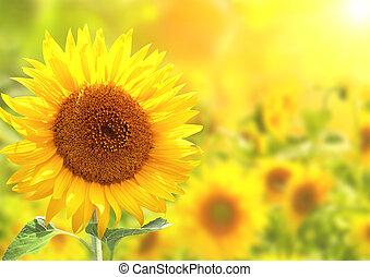 明亮, 向日葵, 黃色