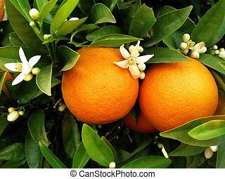 橙樹, 二, 橙
