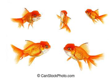 橙, 复合, 金魚