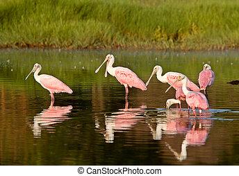 水域, 喂, 佛羅里達, 玫瑰形飾物, spoonbills