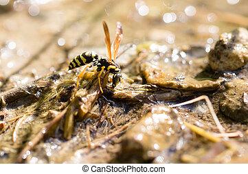 水, 黃蜂, 喝酒, 地面
