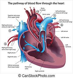 流動, 透過, 血液, 心