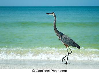海灘, 陽光普照, 蒼鷺, 佛羅里達