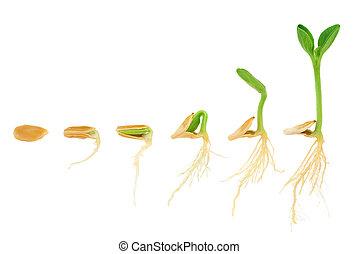 演化, 概念, 序列, 被隔离, 植物, 生長, 南瓜