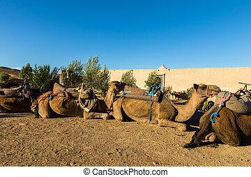 營房, berbers, 駱駝