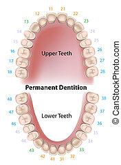 牙齒, 永久, 符號, 牙齒