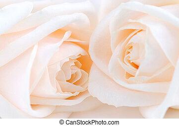 玫瑰, 原色嗶嘰
