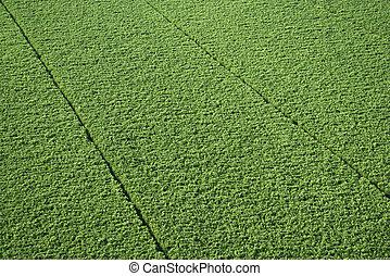 甘蔗, crop.
