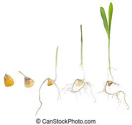 生長, 玉米, 植物