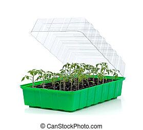 番茄, 小, 萌芽, 托盤, 秧苗