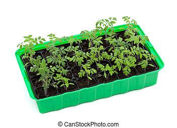 番茄, 萌芽, 托盤, 秧苗