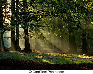 秋天, 陽光, 溫暖, 霧, 秋天, 山毛櫸, 森林