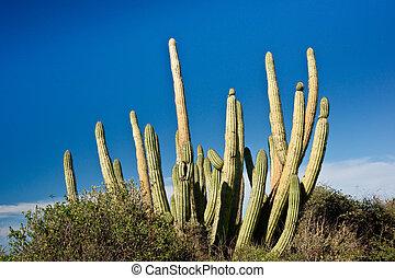 管子, 墨西哥, 仙人掌, 器官