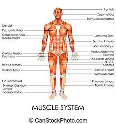 系統, 肌肉