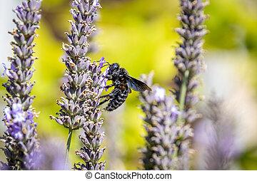 紫色, violacea), 木匠蜜峰, (xylocopa