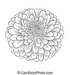 美麗, 花, 被隔离, 黑色的背景, 單色, 白色