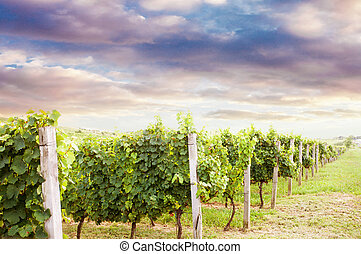 美麗, 葡萄園, 風景