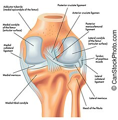 膝蓋, 較晚, 權利, 看法