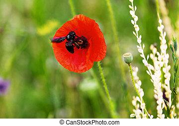 花, 栖息地, 紫色, 蜜蜂, 坐, papaver, 木匠, 野生動物, 紅色