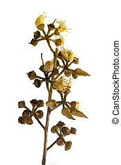 芽, corymbia, 檸檬, 有氣味, 樹膠, crown-pear-shaped, citriodora