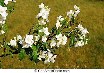 茉莉, 草, 美麗, 花