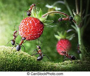 螞蟻, 配合, 草莓, 隊, 荒野, 採摘, 農業