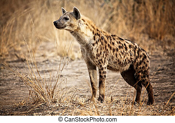 被察覺的 鬣狗