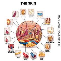 解剖學, 皮膚