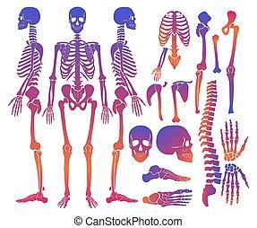 詳細, 黑色半面畫像, 骨骼, 坡度, set., 彙整, 高, 顏色, 明亮, 矢量, 人類, 骨頭, illustration.