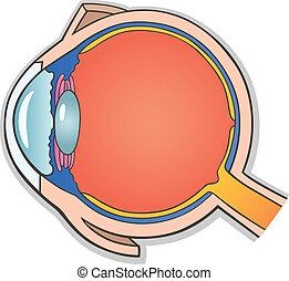 部分, 眼睛, 產生雜種, 人類