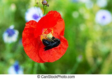野生動物, 授粉, 坐, 花, 木匠蜜峰, 紫色, 罌粟, 紅色