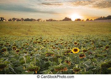 領域, 向日葵, 傍晚, 云霧