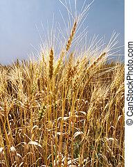 領域, wheat.